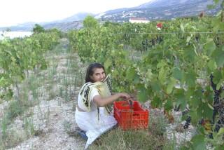 Grape harvest at Stella Vineyard kefalonia-02