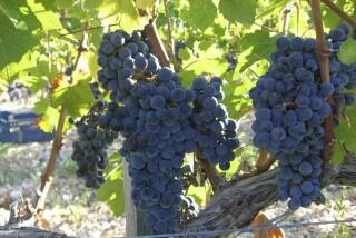 Grape harvest at Stella Vineyard kefalonia-05