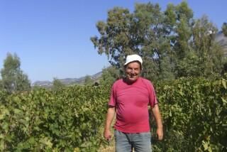 Grape harvest at Stella Vineyard kefalonia-06