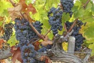 Grape harvest at Stella Vineyard kefalonia-09