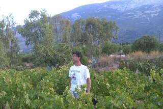 Grape harvest at Stella Vineyard kefalonia-10