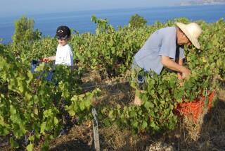 Grape harvest at Stella Vineyard kefalonia-13