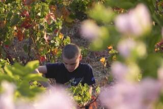 Grape harvest at Stella Vineyard kefalonia-15
