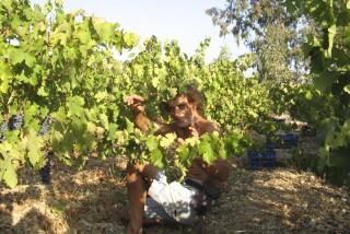 Grape harvest at Stella Vineyard kefalonia-16