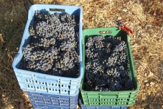 Grape harvest at Stella Vineyard kefalonia-17