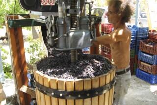 Grape harvest at Stella Vineyard kefalonia-18