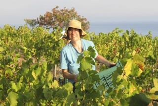 Grape harvest at Stella Vineyard kefalonia-22