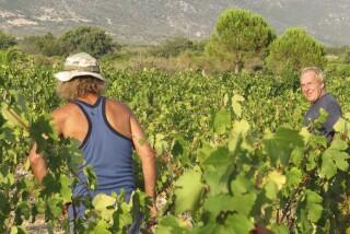 Grape harvest at Stella Vineyard kefalonia-23