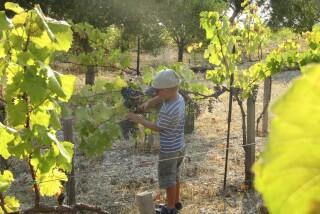 Grape harvest at Stella Vineyard kefalonia-26
