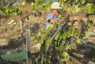 Grape harvest at Stella Vineyard kefalonia-27