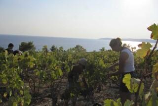 Grape harvest at Stella Vineyard kefalonia-28