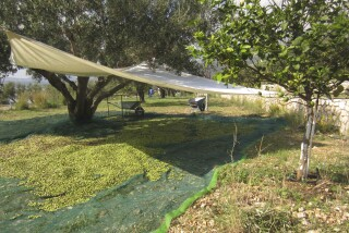 olives's picking season Stella Vineyard studios kefalonia-02