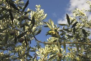 olives's picking season Stella Vineyard studios kefalonia-03