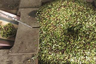 olives's picking season Stella Vineyard studios kefalonia-04