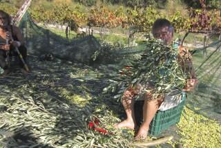 olives's picking season Stella Vineyard studios kefalonia-06