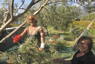olives's picking season Stella Vineyard studios kefalonia-08