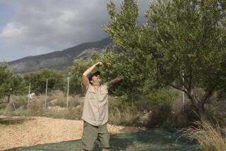 olives's picking season Stella Vineyard studios kefalonia-10