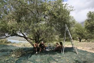 olives's picking season Stella Vineyard studios kefalonia-12