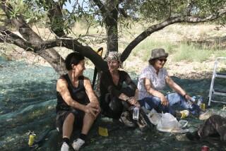 olives's picking season Stella Vineyard studios kefalonia-13