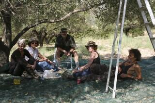 olives's picking season Stella Vineyard studios kefalonia-14