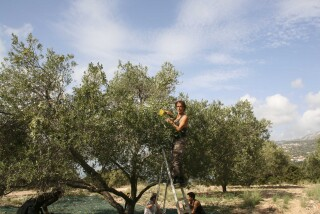 olives's picking season Stella Vineyard studios kefalonia-16