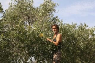 olives's picking season Stella Vineyard studios kefalonia-17