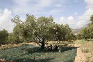 olives's picking season Stella Vineyard studios kefalonia-18