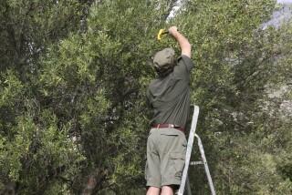 olives's picking season Stella Vineyard studios kefalonia-19