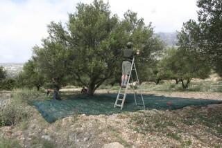 olives's picking season Stella Vineyard studios kefalonia-20