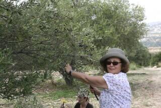 olives's picking season Stella Vineyard studios kefalonia-21