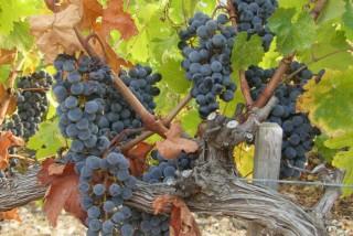 vineyard-kefalonia-02